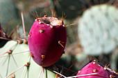 Prickly pear (Opuntia sp.) fruit