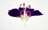 Geranium phaeum flower,illustration