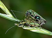 Swollen-thighed beetles