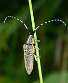 Golden-bloomed grey honghorn beetle