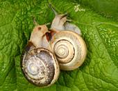 Kentish snails