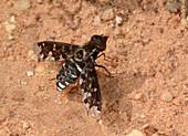 Mottled bee-fly