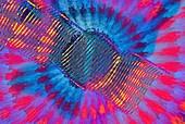 Spiral vessel,polarised light micrograph