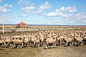 Sheared sheep on a Patagonian estancia