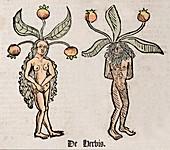 1491 Mandrake couple Hortus Sanitatis