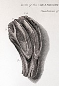 1825 Mantell First Iguanodon tooth clean