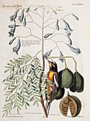 1768 Catesby Seligmann bird plate 84
