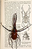 1871 Darwin's Beetle and sexual selection
