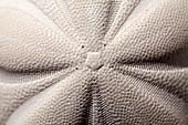 Pentagonal symmetry echinoid sea biscuit
