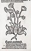 1491 Herb illustration Hortus Sanitatis