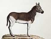 1883 Schreber extinct Quagga zebra plate