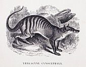 1853 Maout extinct Thylacine cynocephale