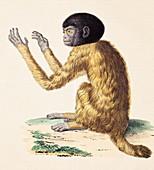 Humboldt's Black headed Uakari monkey pet