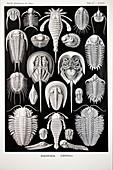 1899 Haeckel Aspidonia Trilobite artwork