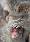 Japanese macaque monkey dominant grooming