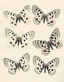 1875 Variation Apollo Parnasius butterfly