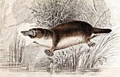 1841 Lizars Duck billed Platypus