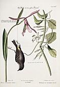1768 Catesby Seligmann dead bird plate