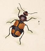 1806 Darwin beetle Panagaeus cruxmajor cu