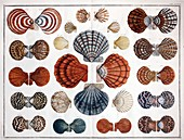 1735 Scallop shells from Albertus Seba