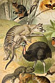 1892 Mutzel Thylacine Tasmanian Wolf