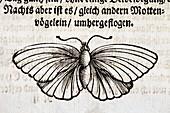 1683 Maria Merian Black veined white