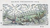 1560 Gesner Orca as lactating sea mammals