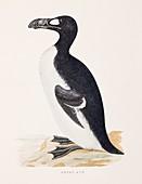 1853 Orpen Morris extinct Great Auk