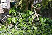 Rusty bike covered in ivy