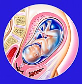 Foetus during pregnancy,illustration