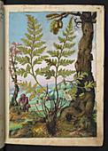 Wood fern (Dryopteris sp.),illustration