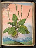 Plantain (Plantago major),illustration