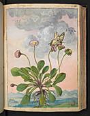 Daisy (Bellis perennis),illustration