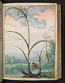 Cyperus esculentus,illustration