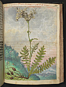 Filipendola plant,illustration