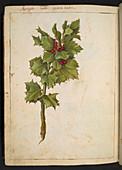 Holly (Ilex aquifolium),illustration