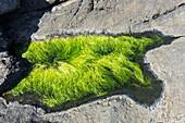 Green hairweed (Chaetomorpha linum)