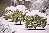 Snow covered holly trees