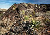 Vegetation on recent lava flow