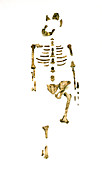 Fossil hominid skeleton known as Lucy