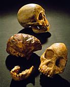 Orig Taung specimen of Australopithecus afrucanus