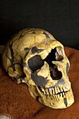 La Ferrassie 1 Neanderthal skull