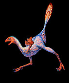 Artwork of Caudipteryx sp.,a bird-like dinosaur
