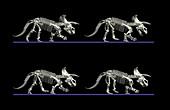 Triceratops dinosaur movement
