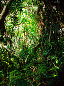 Understory vegetation of a tropical forest,Gambia