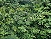 Temperate rainforest with tree ferns,New Zealand