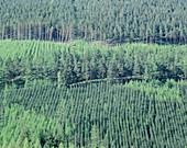 Conifer plantation,Cumbria
