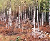 Logging of an Alder forest