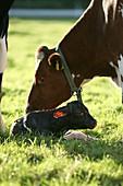 Cow and newborn calf