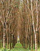 Rubber tree plantation,Thailand